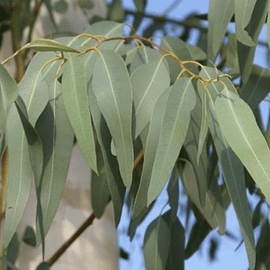 ulei esential de eucalipt mentolat frunze